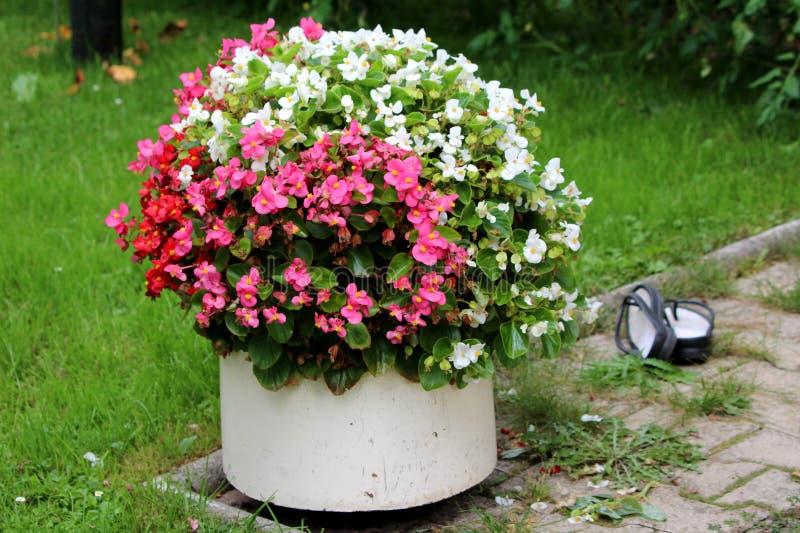 有明亮的白色红色和紫罗兰色秋海棠花的陶瓷花盆围拢与未割减的草和石边路瓦片 免版税图库摄影