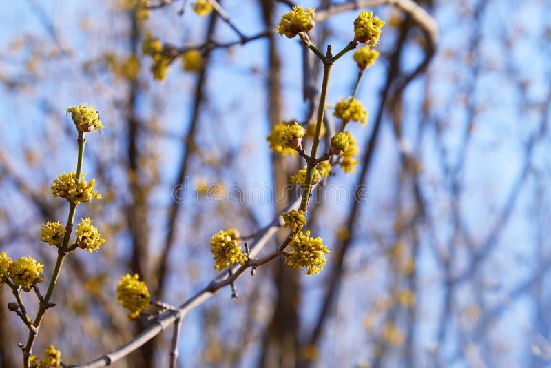 有明亮的黄色花的美丽的枝杈在被弄脏的自然绿色背景 库存照片