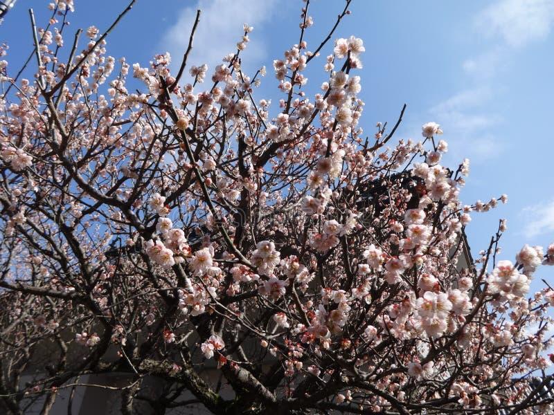 有春天天空的李子开花 免版税库存图片