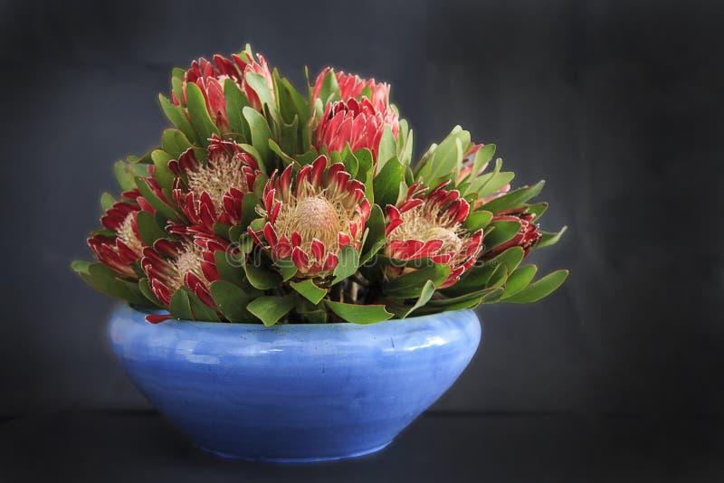 有普罗梯亚木花的蓝色花瓶 免版税库存图片