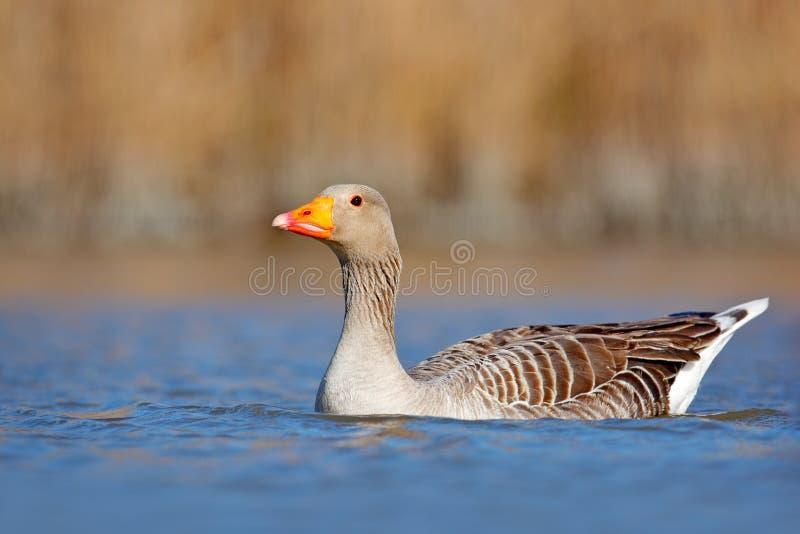 有更加伟大的火鸟,好的桃红色大鸟群的摄影师,跳舞在水中,动物在自然栖所, Camargue, Fr 免版税图库摄影