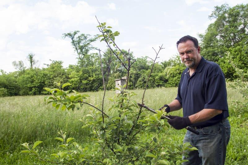 有机农夫修剪一棵矮小的苹果树 免版税图库摄影