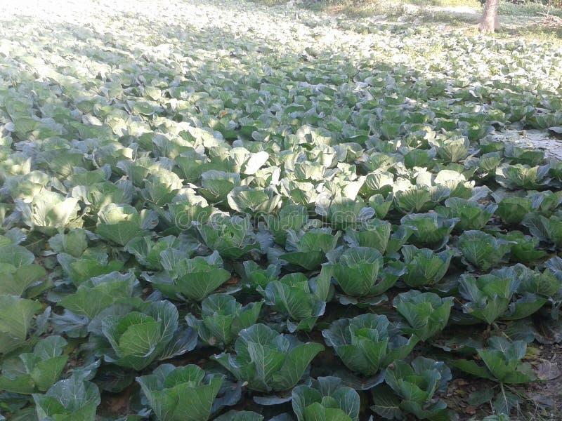 有机圆白菜农场 免版税库存图片