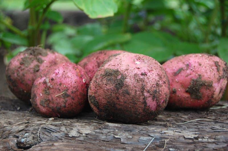 有机土豆在一个菜园里 免版税库存图片