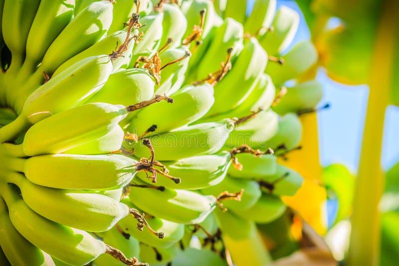 有机年轻绿色香蕉在与阳光的树结果实在晴天 束在树的新鲜的未加工的年轻绿色香蕉果子在t 免版税库存照片