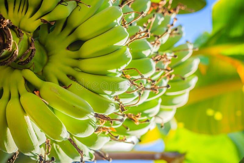 有机年轻绿色香蕉在与阳光的树结果实在晴天 束在树的新鲜的未加工的年轻绿色香蕉果子在t 库存照片