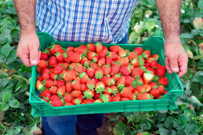 有机果子生产 拿着条板箱的农夫有很多新鲜的草莓 免版税库存图片