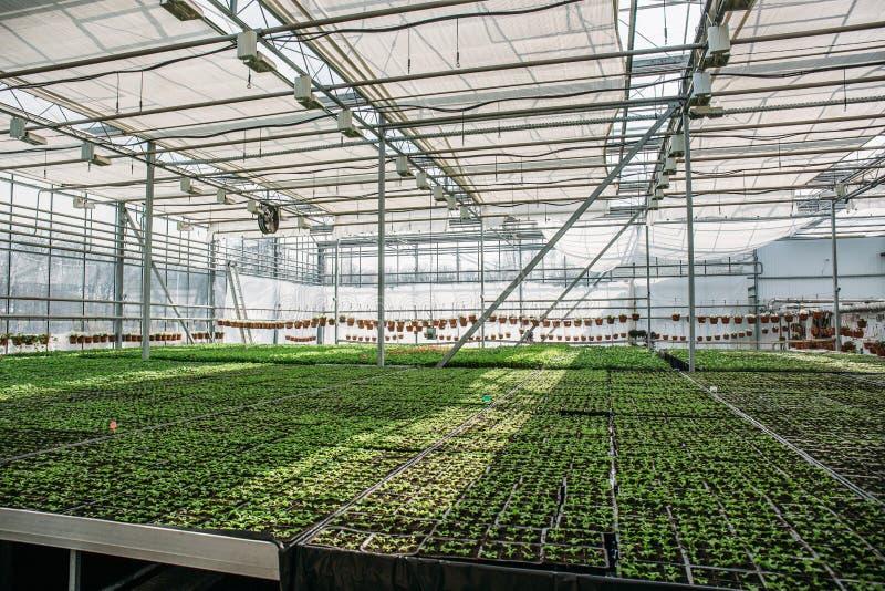 有机水耕的园林植物耕种托儿所农场 大现代温室或温室,种田生长种子 免版税库存图片