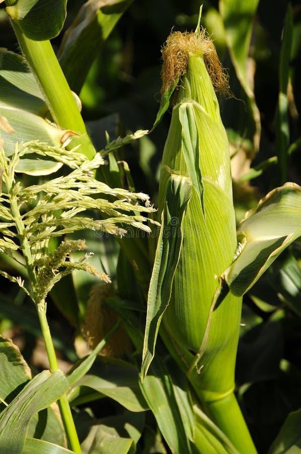 有机玉米的庄稼 免版税库存照片