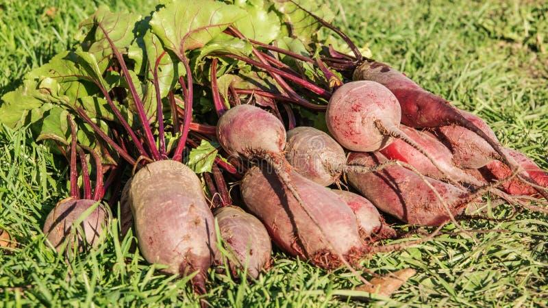 有机甜菜新收获,收获在绿草的堆 库存照片