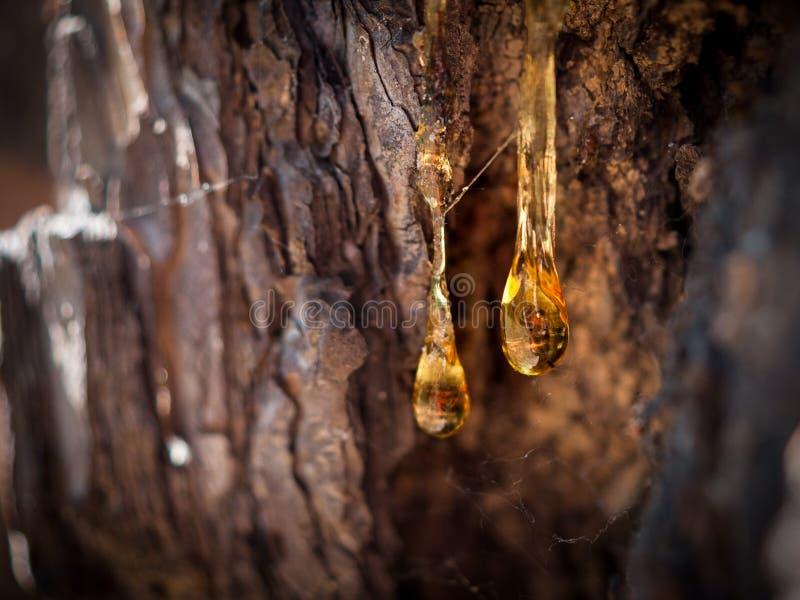 有机生活概念:松焦油,树脂漏的明亮的黄色下落,在黑暗的树皮背景在一个晴朗的夏日 库存图片
