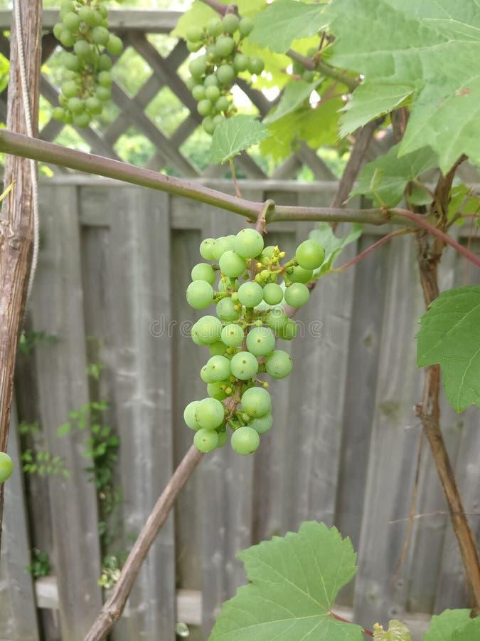 有机的葡萄 库存图片