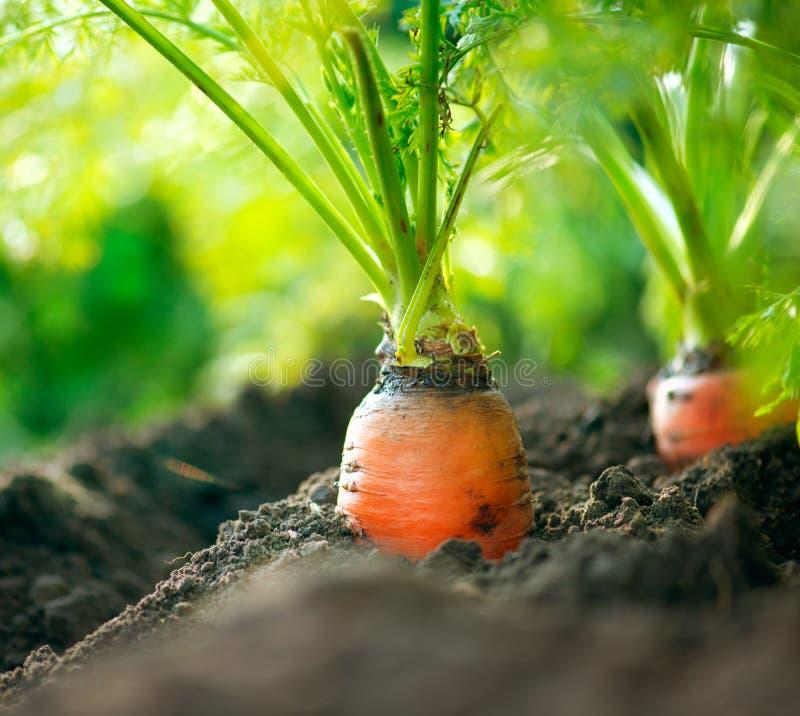 有机红萝卜。 红萝卜生长 库存照片