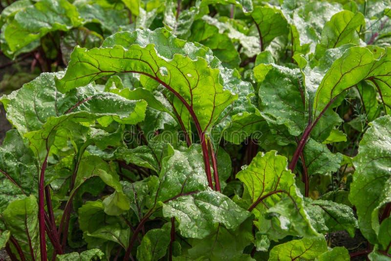 有机绿色红色年轻甜菜离开接近  在甜菜叶子的露水 库存图片