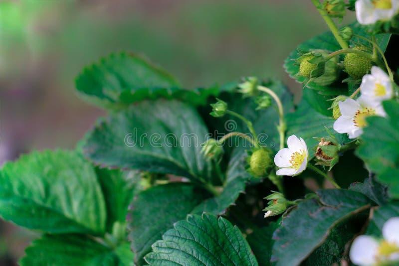 年轻有机草莓果子和植物生长领域的 库存图片
