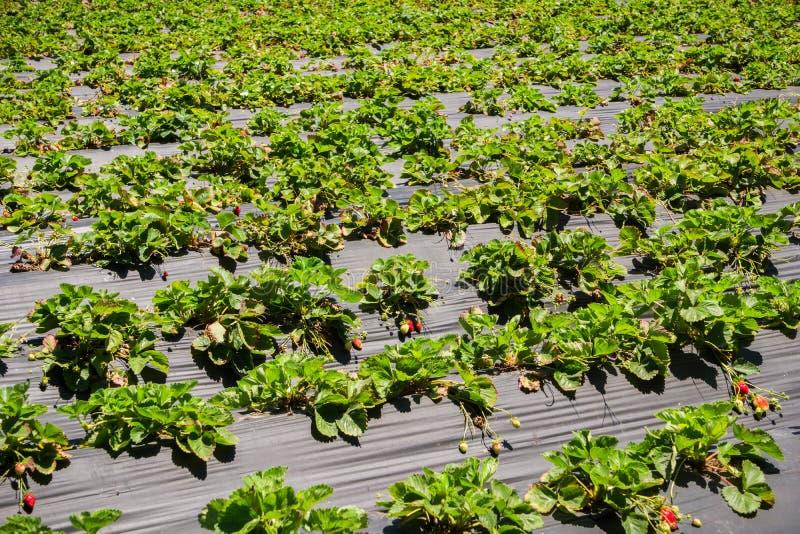有机草莓领域,加利福尼亚 图库摄影