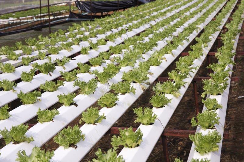 有机菜hydrophonic种植园 免版税库存图片