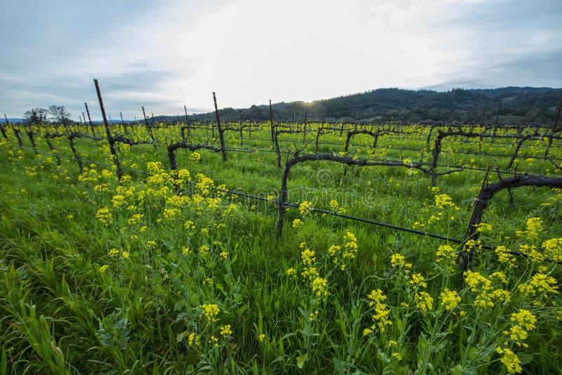 有机葡萄葡萄园在春天 免版税库存图片