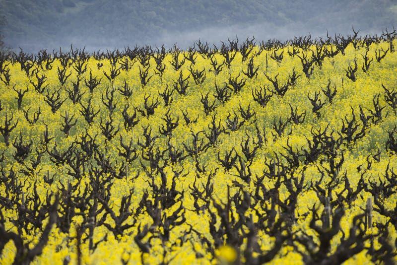 有机葡萄葡萄园,加利福尼亚葡萄酒国家 免版税库存照片
