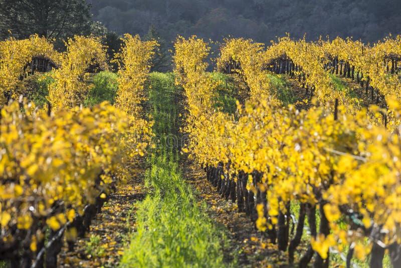 有机葡萄葡萄园,加利福尼亚 免版税图库摄影