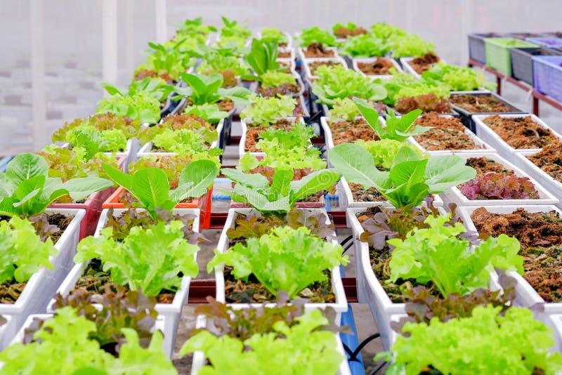 有机蔬菜在罐生长自温室 免版税库存照片