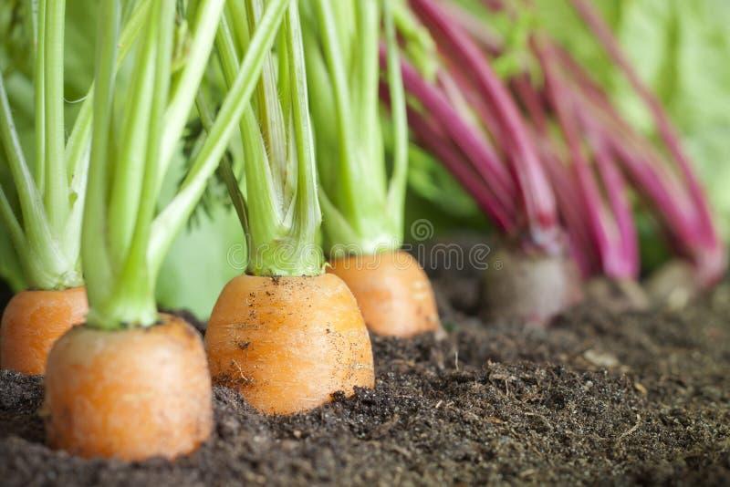 有机蔬菜栽培在庭院里 库存照片