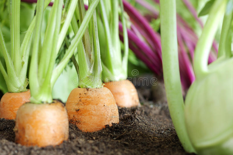 有机蔬菜栽培在庭院里 免版税库存图片