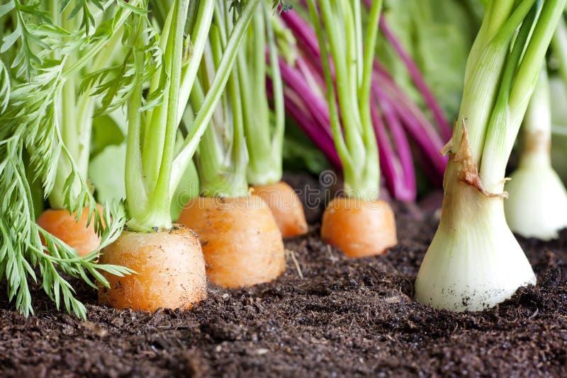 有机蔬菜栽培在庭院里 免版税图库摄影