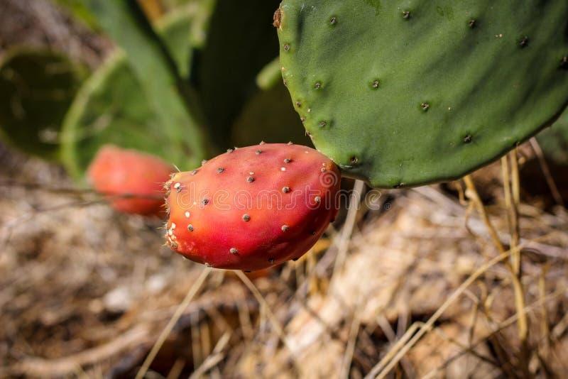 有机被种植的多刺的红色梨,在领域的一棵绿色仙人掌植物准备好收获在秋天 免版税库存图片