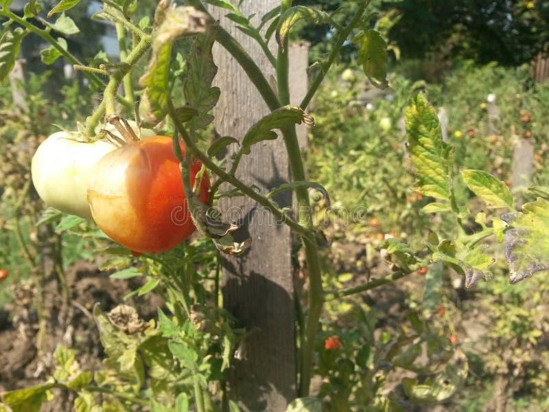 有机绿色和红色蕃茄 免版税库存照片