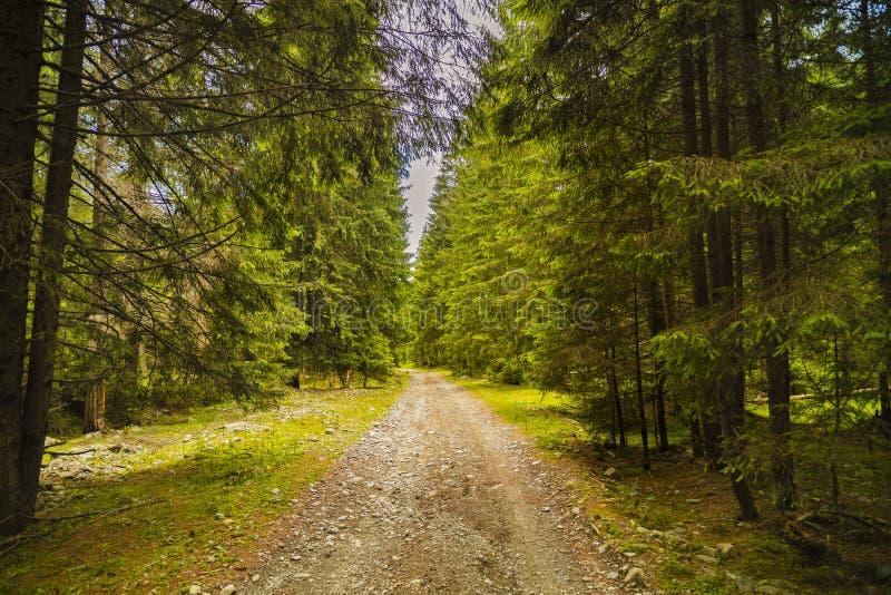 有杉树的一条森林道路在喀尔巴阡山脉的山 免版税库存照片