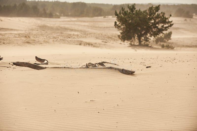 有杉树选择聚焦的桑迪沙漠 库存照片