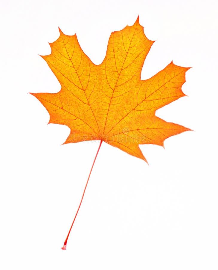 有条纹的被隔绝的枫叶在白色背景 从树槭树桔子的叶子 库存图片