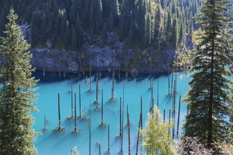 有来自它的水的云杉的树干的Kaindy湖,在哈萨克斯坦 免版税库存图片