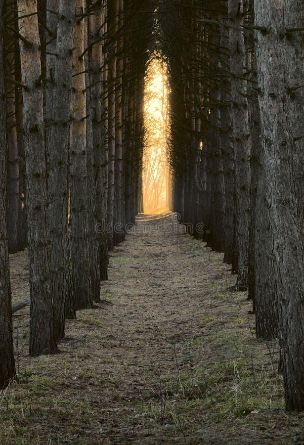 有松树树干的'柱廊'走廊 免版税库存照片