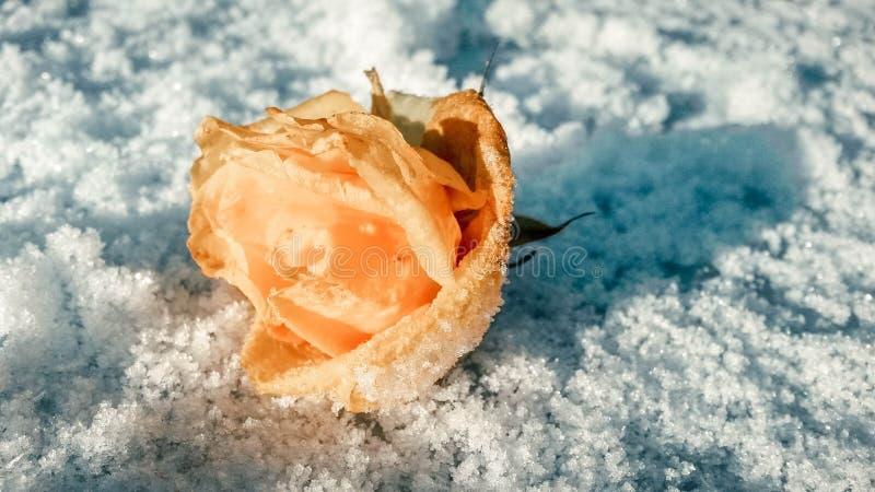 有树冰的米黄玫瑰色芽在雪的叶子在第一霜 库存照片