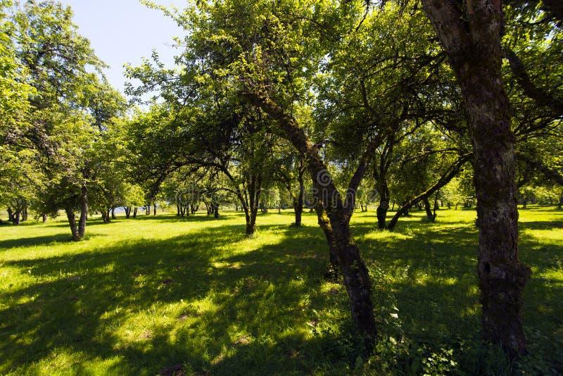 有树的宽敞公园在阳光醉汉草 库存图片