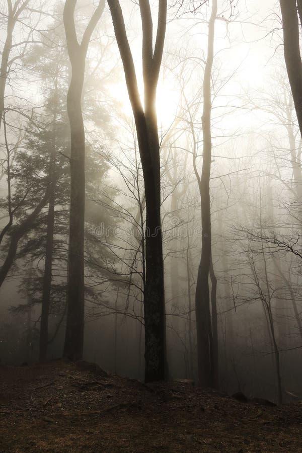 有树的有雾的森林 库存图片