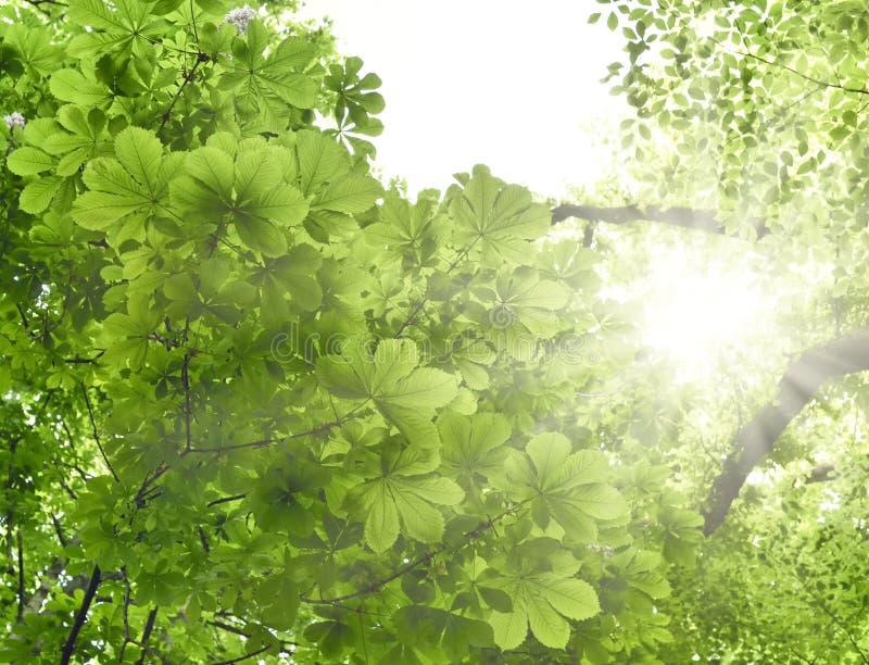 有栗树和山毛榉树的混杂的森林在阳光下 库存图片