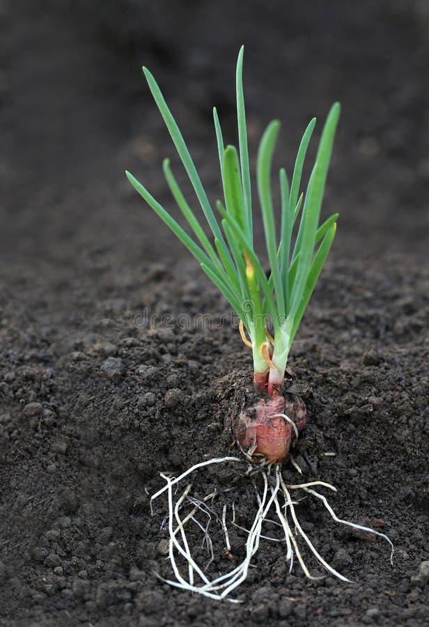 有根的葱植物 免版税库存照片