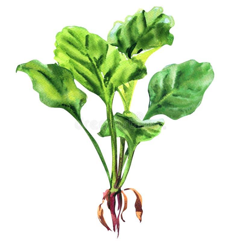 有根的,健康食品概念,被隔绝的对象,在白色的手拉的水彩例证新鲜的绿色菠菜叶子 向量例证
