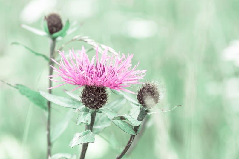 有桃红色乳蓟野花的夏天草甸 免版税库存图片