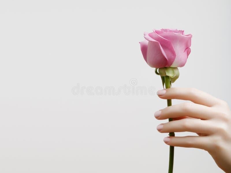 有桃红色修指甲的典雅的女性手在钉子 拿着玫瑰的美丽的手指 免版税库存照片