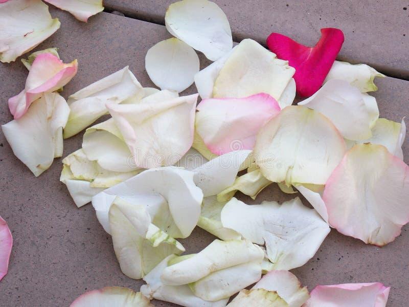 有桃红色和白色玫瑰花瓣的心形的玫瑰花瓣 库存照片