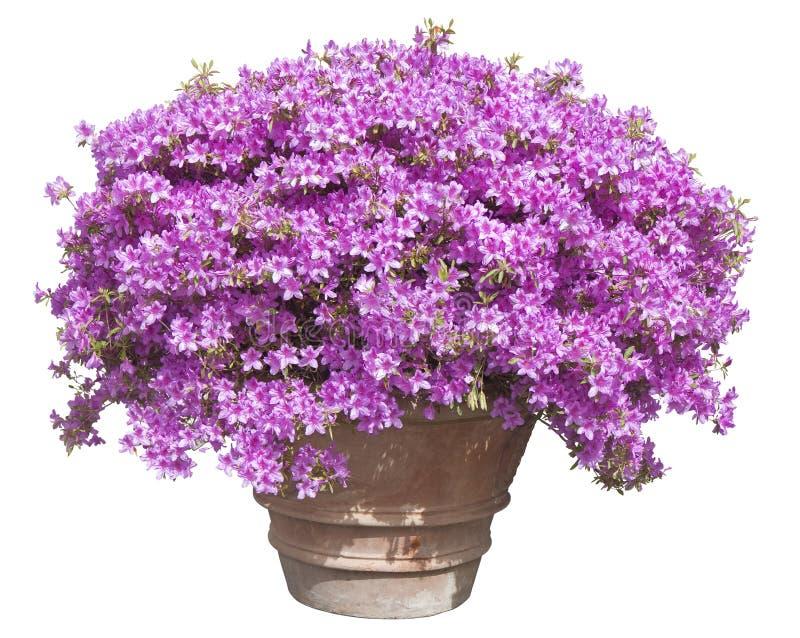 有桃红色喇叭花花的园林植物在一个大传统意大利赤土陶器花瓶-春天在白色的概念图象 库存图片