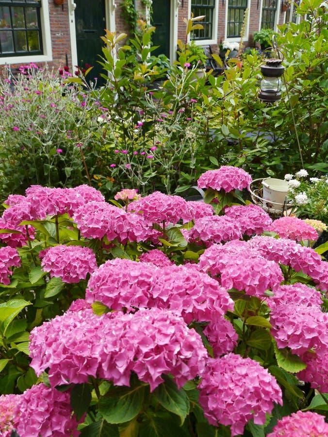 有桃红色开花的霍滕西亚植物的一个庭院 免版税库存照片