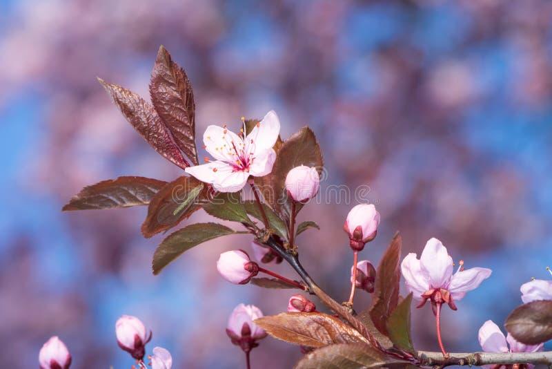有桃红色李子开花的枝杈 免版税图库摄影
