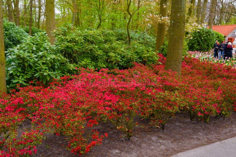 有桃红色杜娟花的布什在Keukenhof公园,利瑟,荷兰,荷兰开花 库存照片