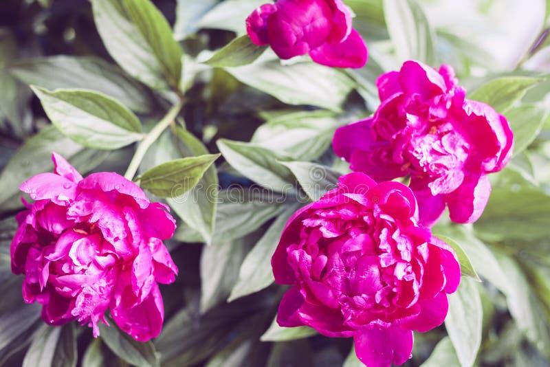 有桃红色牡丹花的布什在庭院里 图库摄影