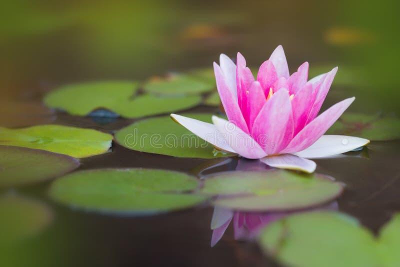 有桃红色荷花的池塘 免版税库存照片